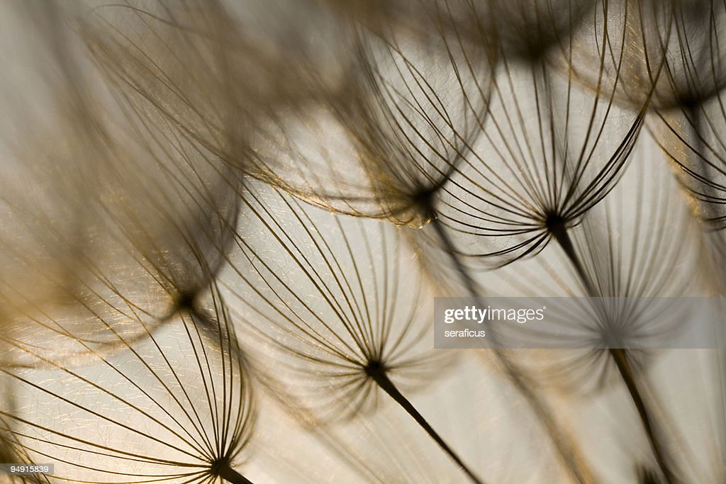 Inside the dandelion : Stock Photo