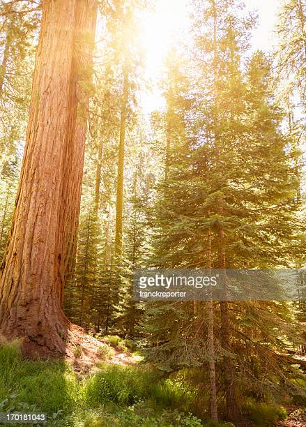 inside the sequoia national park - national forest stock pictures, royalty-free photos & images