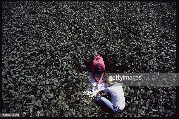 Inspecting Cotton Crop for Weevils