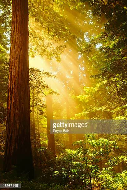 inspiring redwoods - redwood tree stock photos and pictures