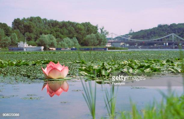 ヴェーダ祭りの水に人工のユリの花のインスタレーション。フィルムで撮影します。 - film festival ストックフォトと画像