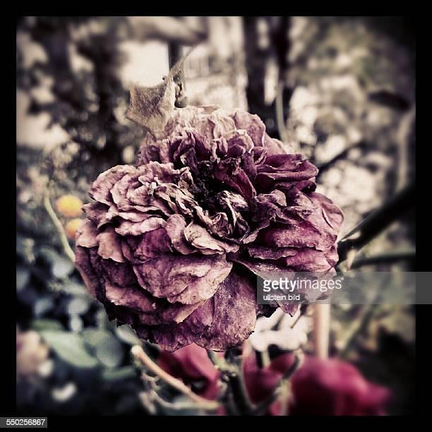 Instragram Verblühte Rose