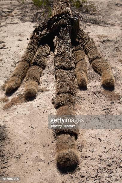 intact dead saguaro cactus on the ground - timothy hearsum stock-fotos und bilder