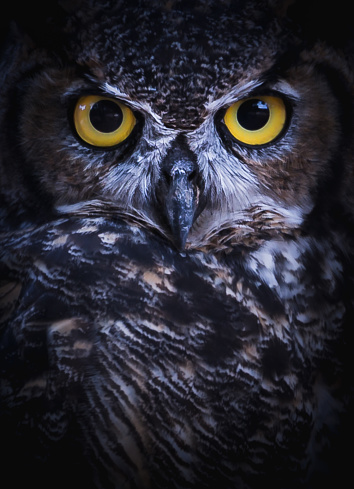 Intense Eye Contact from a Great-Horned Owl 1074669480