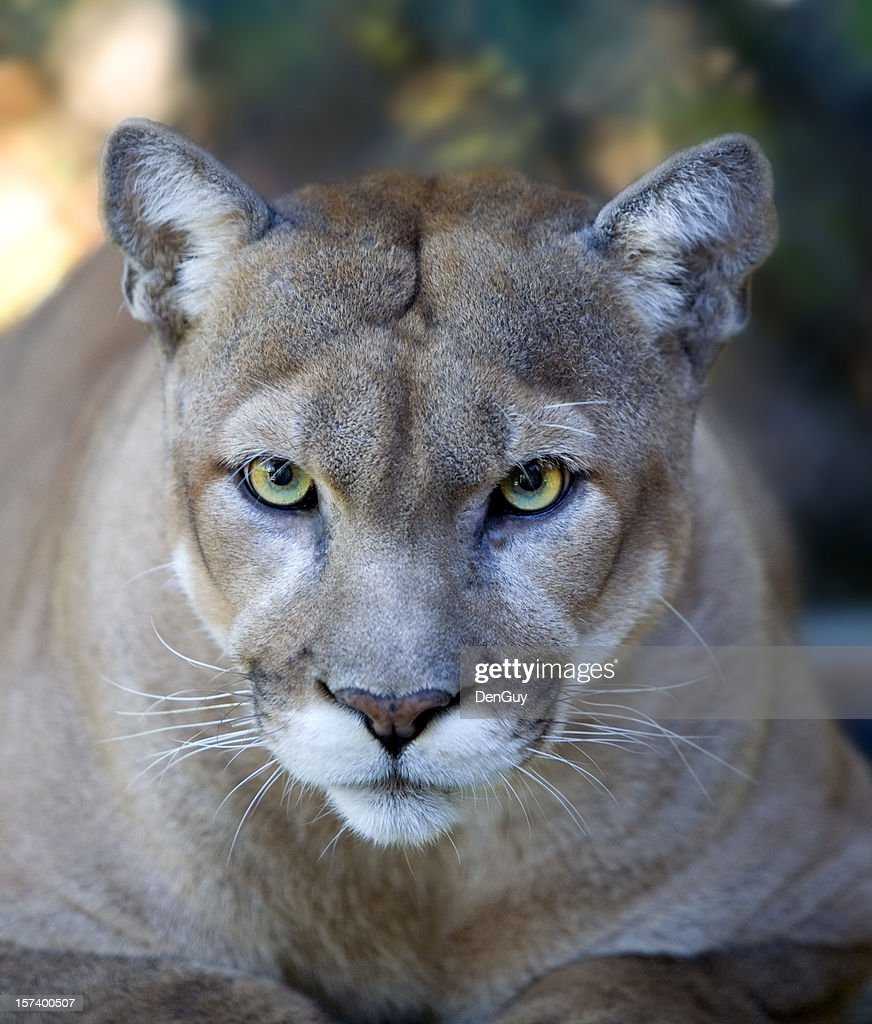 Intense Florida Panther Face with Piercing Eyes Close Up : Stock Photo