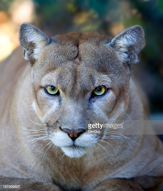 Intense Florida Panther Face with Piercing Eyes Close Up