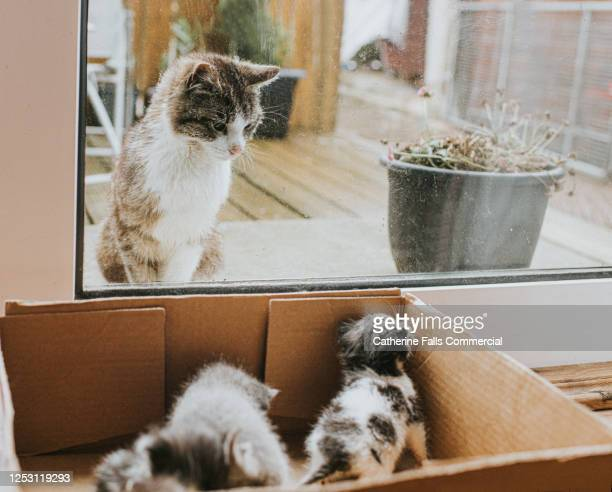 interested adult cat, looking in patio window at kittens in a box - hairy bum stock pictures, royalty-free photos & images