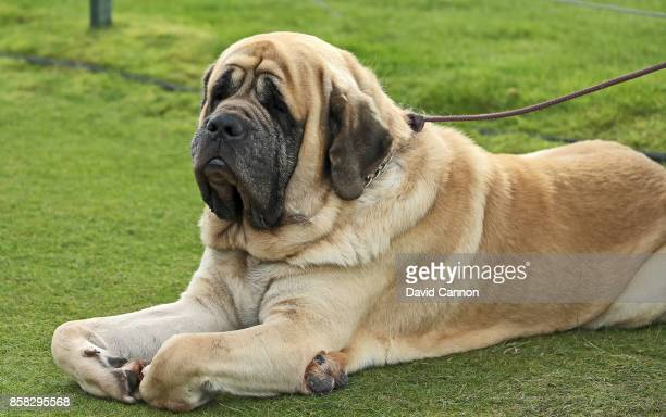 old english mastiff photos et images de collection - getty images