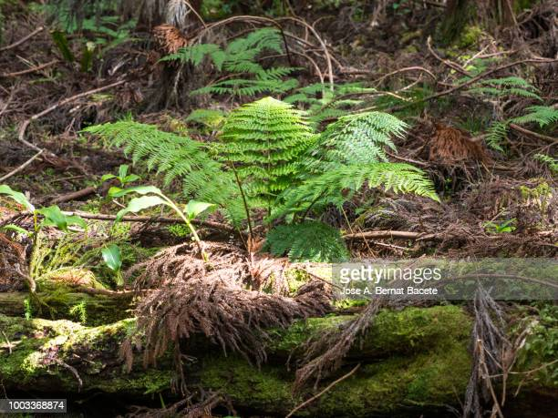 Interior of a forest with a trunk of cut down tree, with moss and a plant of fern in his interior in island of Terceira, Azores islands, Portugal.