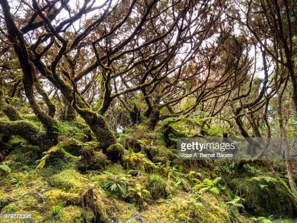 Interior of a humid forest of big trees and centenary-year-old trunks (Erica azorica) in island of Terceira, Azores islands, Portugal.