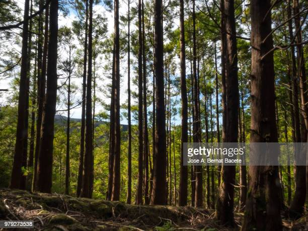 Interior of a humid forest of big trees and centenary-year-old trunks in island of Terceira, Azores islands, Portugal.