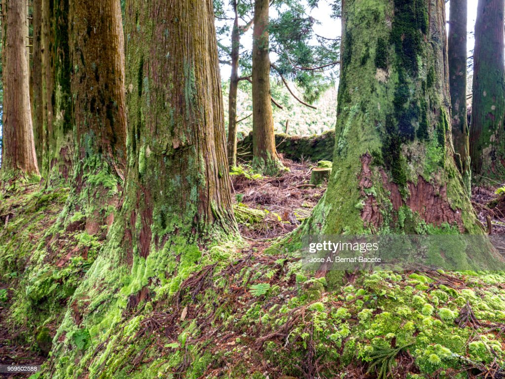 Interior of a humid forest of big trees and thousand-year-old trunks in island of Terceira, Azores, Portugal. : Stock-Foto