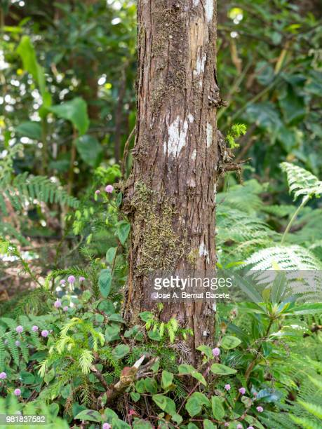 Interior of a humid forest of big trees and trunks (Cryptomeria japonica) in island of Terceira, Azores islands, Portugal.