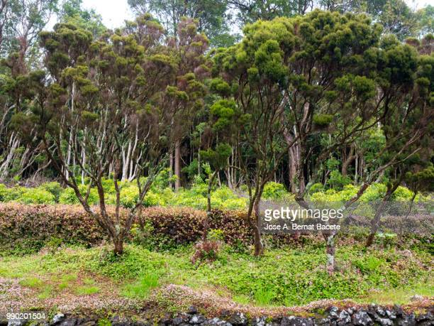Interior of a humid forest of big trees and trunks ( Erica azorica and Cryptomeria japonica) in island of Terceira, Azores islands, Portugal.