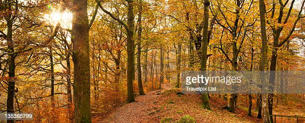 interior of beech forest - newpremiumuk stock pictures, royalty-free photos & images