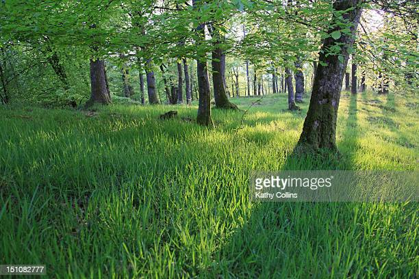 Interior of Scottish spring woodland