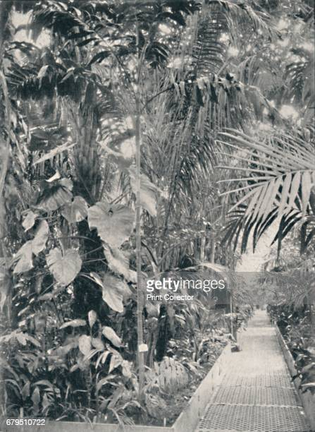 Interior of the Great Palm House Kew Gardens' 1904 The Palm House was built by architect Decimus Burton and ironmaker Richard Turner between 1844 and...