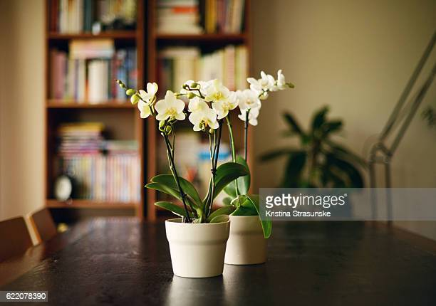 interior scene,two orchid plants on a wooden table - ラン ストックフォトと画像