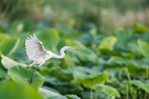 intermediate egret flapping its wings flying in lotus pond 1028687122