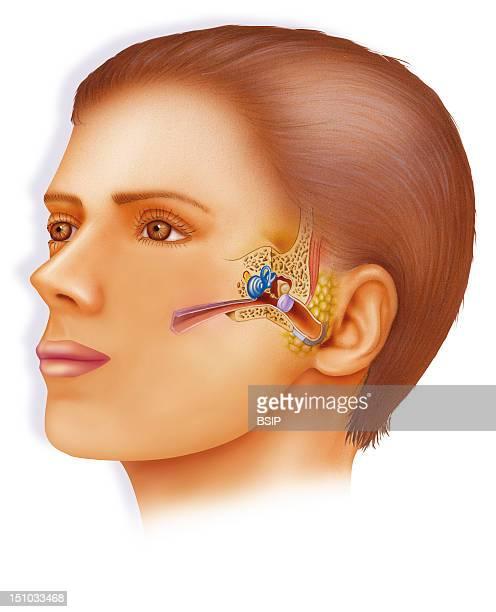 Internal Ear Drawing