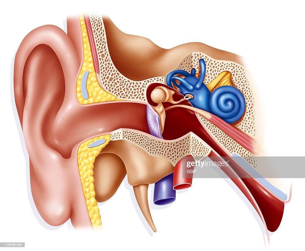 Internal Ear, Drawing : News Photo