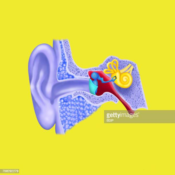 internal ear,drawing - ear canal stock photos and pictures