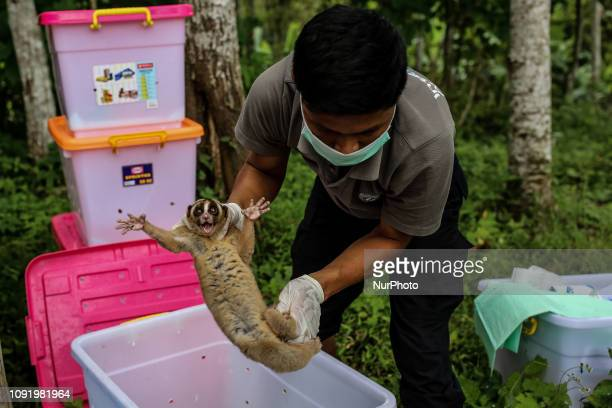 International Animal Rescue release 34 Javan slow lorises to their original habitat at Tampomas conservation forest in Sumedang West Java Indonesia...