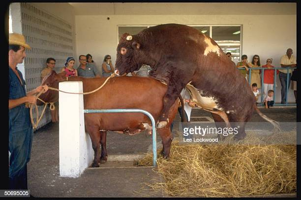 International Black Velvet prize bull bought from Canada in process of mating at farm near Havana devoted to cattle reproduction