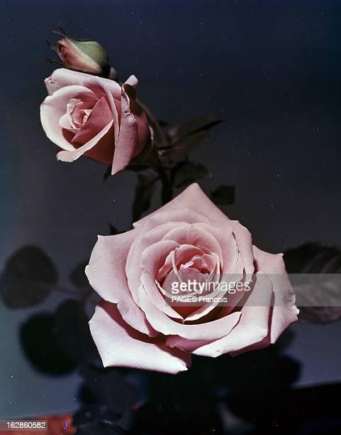 International Flower Show In Orleans En France à Feysin en 1967 lors de l'exposition des floralies internationales gros plan sur une fleur de rose...