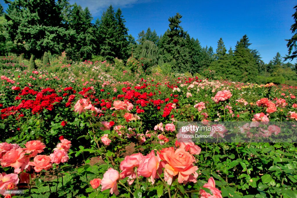 International Rose Test Garden In Washington Park Portland Oregon ...