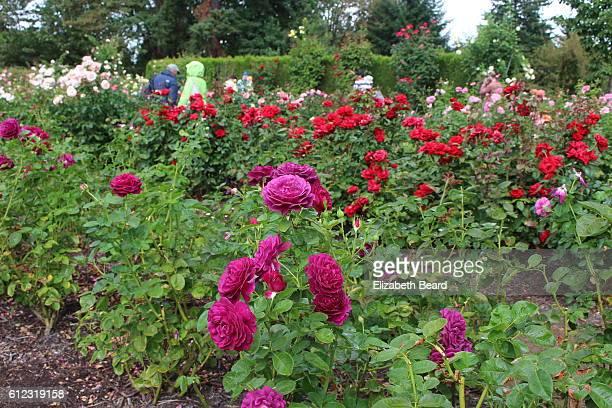 International Rose Test Garden Stock Pictures Royalty Free Photos