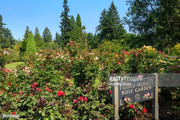 Portland Rose Garden Stock Pictures Royalty Free Photos Images