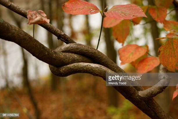 Intertwined branches, Maryland, USA