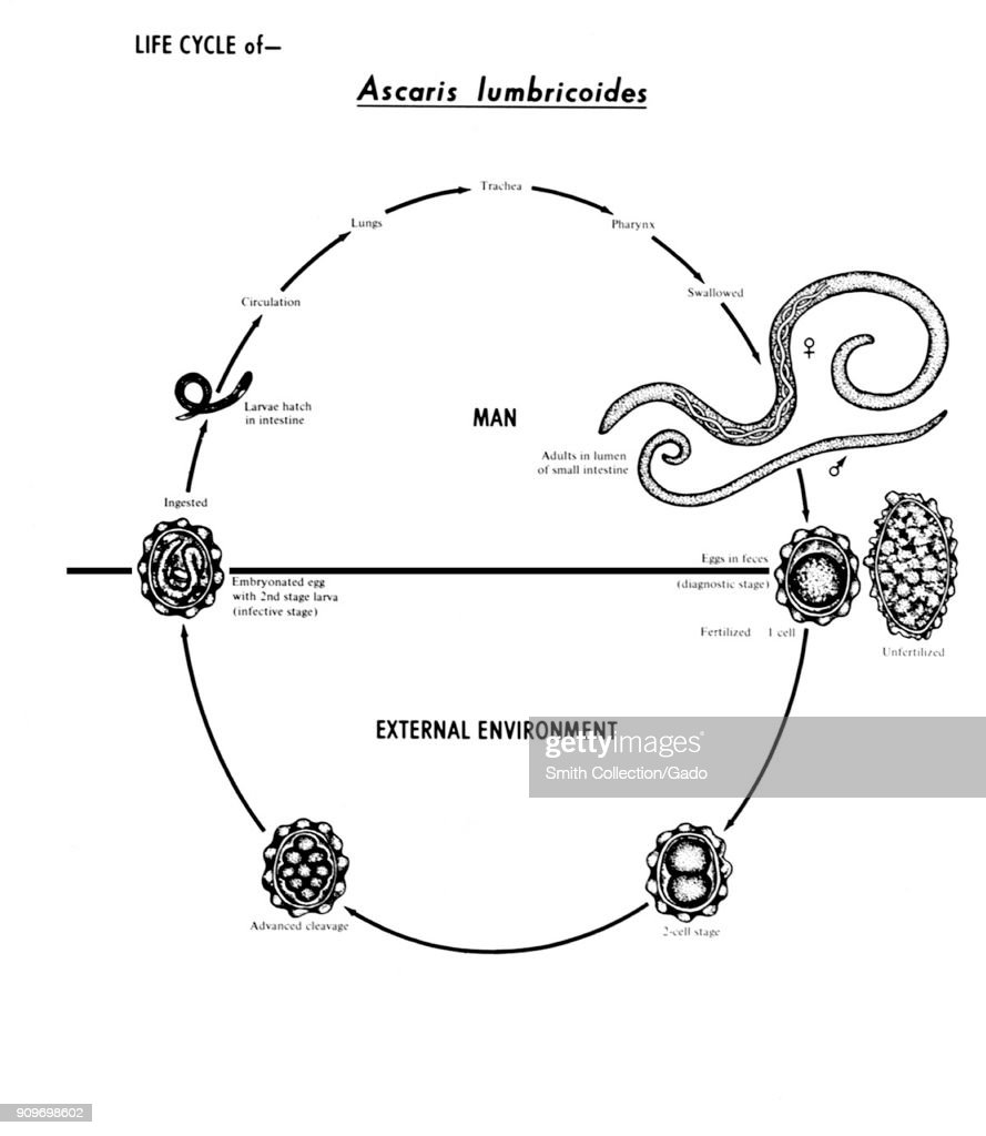 Intestinal Roundworm Nematode , Various Stages In The Life