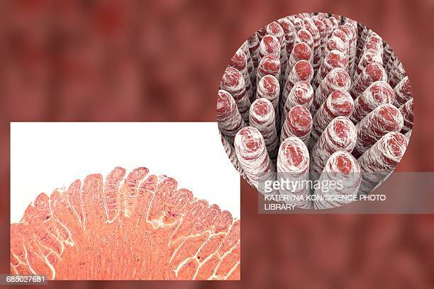 intestinal villi, illustration - villus stock photos and pictures