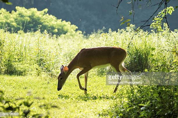 into the clearing - deer in headlights stock pictures, royalty-free photos & images
