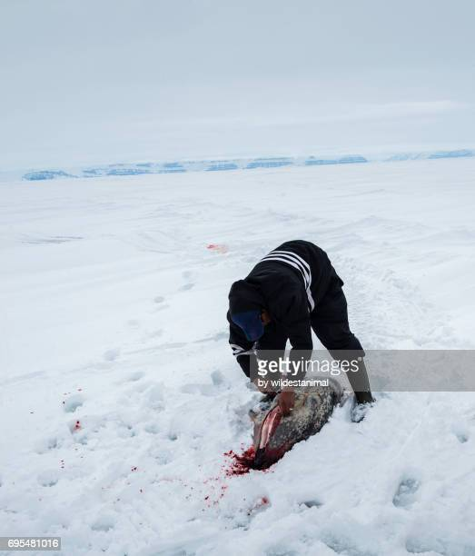 Inuit hunter cutting up a ring seal carcass to bring back home.