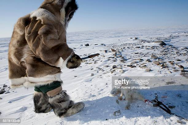inuit hunting for snow foxes - inuit stock pictures, royalty-free photos & images