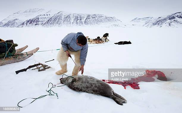 inuit man cleans up seal after shooting on sea ice - dead dog stock pictures, royalty-free photos & images