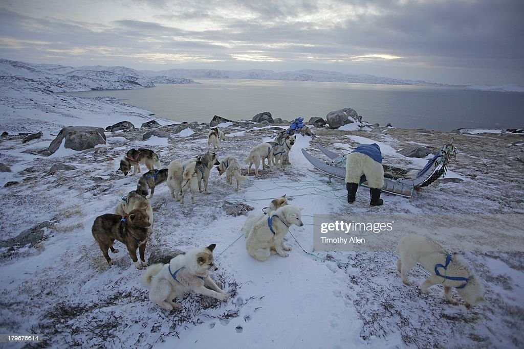 Inuit man ties up Greenland huskies and sled : Stock Photo