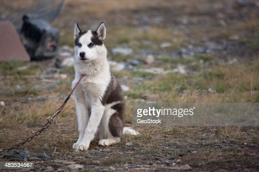 Inuit Sled Dog Stock Photo - Getty Images