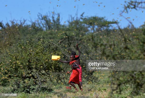 Invading locusts spring into flight from ground vegetation as young girls in traditional Samburu-wear run past to their cattle at Larisoro village...