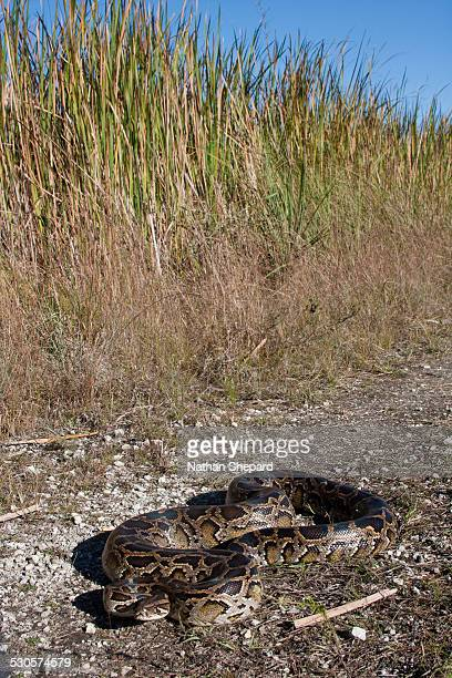 invasive burmese python - burmese python stock pictures, royalty-free photos & images