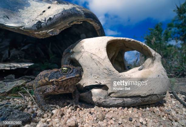invasive cane toad (rhinella marina) and skeleton of endangered green turtle (chelonia mydas) in north queensland, australia - animal skeleton imagens e fotografias de stock