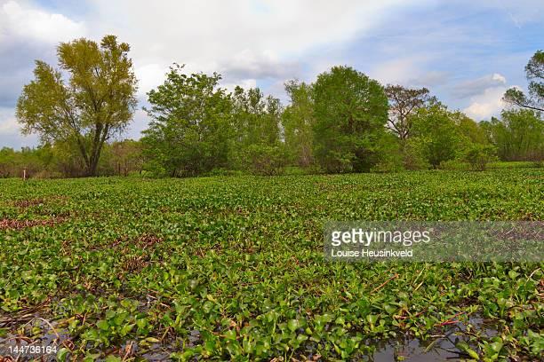 Invasive Water Hyacinth in the Atchafalaya Swamp