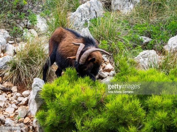 invasive wild goats on the island of mallorca among the bushes - manly wilder stock-fotos und bilder