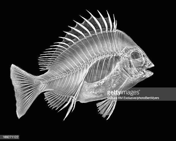 inverted image of sheephead fish - fish x ray stock photos and pictures