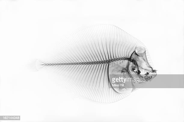 Inverted x-ray of a flounder fish against white