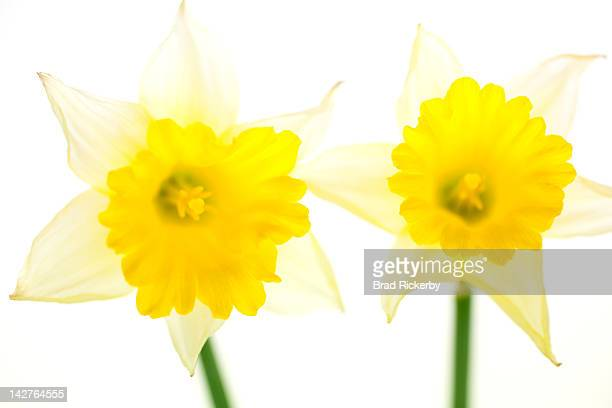 Inviting daffodils on white background