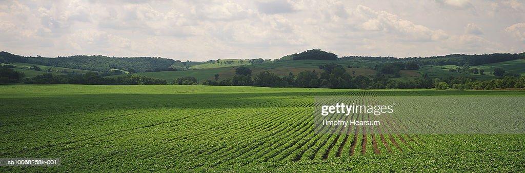 USA, Iowa, Dallas County, Soybean field : Stock Photo